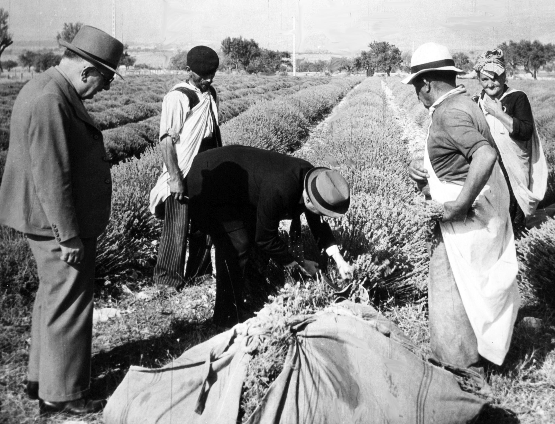 Cueillette des lavandiers 1937 Gattefossé