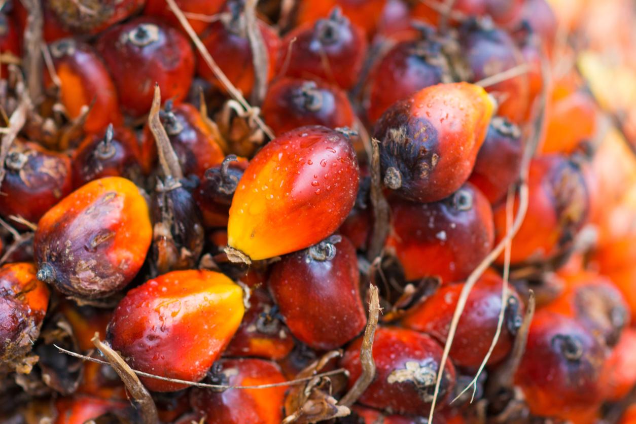 fresh palm oil from palm garden, farmland