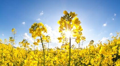sunshine on yellow rapeseed oil flower field over blue sky